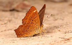Punchinello (Zemeros flegyas, Riodinidae) (John Horstman (itchydogimages, SINOBUG)) Tags: insect macro china yunnan itchydogimages sinobug entomology canon butterfly lepidoptera riodinidae explore topf25 topf50 fb top