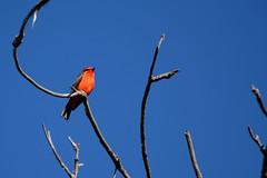 Vermilion Flycatcher (linda m bell) Tags: sanjoaquinwildlifesanctuary irvine california 2018 wetlands birdwatching vermilionflycatcher