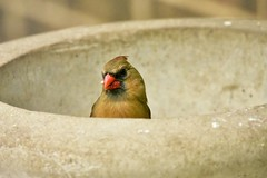 Are you looking at me?.....Female cardinal in concrete pot (stevelamb007) Tags: lincolnshire illinois feeding female cardinal bird d7200 nikon stevelamb