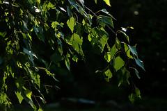 Summer afternoon in the garden (gornabanja) Tags: birch tree leafs plant nature backlit light green garden nikon d70