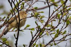Chiffchaff (sumowesley) Tags: bird chiffchaff fauna nature oldmoor