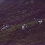 21964-sheep in the dark thumbnail