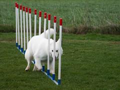 le slalom. (musette thierry) Tags: musette thierry nikon d800 chien dog blanc canadiens suisse jeux sport