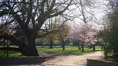 (farmspeedracer) Tags: nature april 2019 avril park germany light ray spring frühling joy tree cherry blossom afternoon