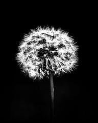 Mid-night by my dandelion clock (Johns 2nd best photos) Tags: dandelion dandelionclock time dark lowkey highlights backlit blackandwhite blackwhite