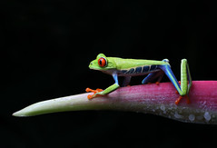 Red-eyed Tree Frog (ashockenberry) Tags: nature naturephotography natural national native forest frog ashleyhockenberryphotography animal eco reserve amphibian perch light habitat green travel tourism tree majestic central america
