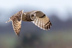 A Closer Pass (irelaia) Tags: short eared owl close pass high iso quiet away from crowd