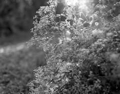 Dew Light (macromary) Tags: 120 120film analog 105mm f24 florida pentax6x7 mediumformat foma fomapan fomapan100 blackwhite analogphotograph bokeh bw blackandwhitefilm filmcamera film mechanicalcamera vintage vintagecamera fl rodinal trail naturetrail lakewoodruff deland lakewoodruffnationalwildliferefuge dew morning plant flowers weed flare