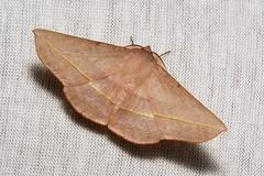 Geometrid Moth (Oenochrominae, Geometridae) (John Horstman (itchydogimages, SINOBUG)) Tags: insect macro china yunnan itchydogimages sinobug entomology trap geometridae onwhite oenochrominae fbipm tumblr
