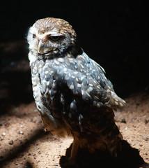Brazilian Owl (peter_a_hopwood) Tags: owl iguacu brazil december 2018 sony a99