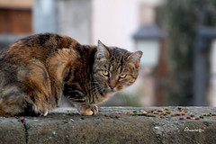 Sorprendido (Anavicor) Tags: mascota gato cat katze sorprendido eating comiendo pienso animal cute anavillar villarcorreroana anavicor nikon d5300 tamron