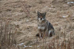 Eastern Coyote (Rob E Twoo) Tags: