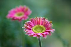 gerbera 9177 (junjiaoyama) Tags: japan flower plant gerbera pink winter macro bokeh
