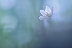 IMG_8444 - lumineuse (anémone Sylvie) (mp mapa) Tags: foret proxi macro nature fleur blanc printemps anémone anémonesylvie yvelines france plante sauvage
