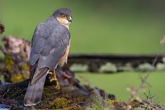Rayon de soleil ! (kookaburra 81) Tags: oiseau tarn epervierdeurope accipiternisus accipitridés accipitriformes eurasiansparrowhawk bird