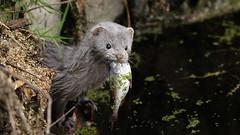 Stinky minky {explored} (Cosper Wosper) Tags: mink somerset levels explored americanmink neovisonvison cutebutdeadly