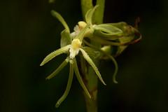 Habenaria petraea (zimbart) Tags: malawi nyikaplateau africa flowers flora angiosperms monocots asparagales orchidaceae habenaria habenariapetraea