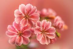 soft touch (HMM !) (ralfkai41) Tags: macromondays bokeh plant pflanzen macro blossom flower blüten makrok pastel pastellfarben nature natur blumen