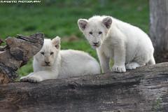 Two white lion cubs - Mondo Verde (Mandenno photography) Tags: animal animals dierenpark dierentuin ngc nature nederland netherlands dieren white whitelion lion lions lioncub cub cubs mondoverde mondo verde landgraaf