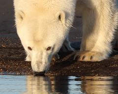 Checking Her Reflection (gainesp2003) Tags: polar bear wild wildlife alaska kaktovik ursus maritimus