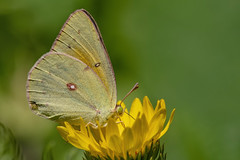 Colias lesbia lesbia 2019.02.05 (carmen chase) Tags: argentina argentine fotomacrografía photomacrography macrofotografía macrophotography action acción macro insect insecto animalia arthropoda insecta lepidoptera pieridae coliadini colias lesbia clouded yellow butterfly isoca de la alfalfa mariposa a7riii ilce7rm3 sony telemacro canon 500d lente lentilla aproximación 2 dioptría dioptre close up lens recs