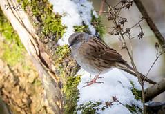 Dunnock in the snow (vickyouten) Tags: dunnock nature naturephotography wildlife britishwildlife wildlifephotography nikon nikond7200 nikonphotography sigma sigma150600mmc penningtonflash leigh uk vickyouten