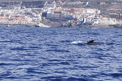 Pilot Whale [2] (Ian R. Simpson) Tags: pilotwhale whale fin puertosantiago atlanticocean atlantic ocean sea water waves coast tenerife canaryislands spain