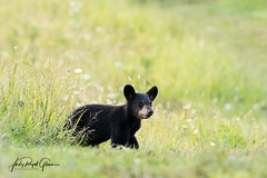 """The Coast is Clear!"" A black bear cub at Cades Cove, Tennessee 