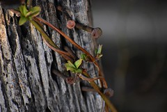 Nails And Twisted Branches (filmcrazy1014) Tags: nikon nature wildlife outdoor macro bokeh wood woods tree nail rust branch treebranch detail unshual closeup blur background twisted leave leaves forest green greenleaves texture brown white grey black color colorful plant decay