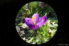 Crocus   (9) (Ezzo33) Tags: nammour ezzat ezzo33 france aquitaine 33 bordeaux ville parcfloral réservedesbarails crocus violet bleu rayé