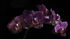 Purple Orchids In Soft Light (Bill Gracey 23 Million Views) Tags: offcameraflash orchid orchids blackbackground color yongnuo yongnuorf603n lastoliteezbox softbox sidelighting flowers flores fleur purple colorful