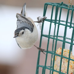 080. Nuthatch (Misty Garrick) Tags: arboretum universityofminnesotalandscapearboretum landscapearboretum flowershow bird birds birding
