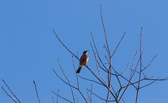 American Robin (Accipiter22) Tags: rockmeadow belmont birding birds animals wildlife