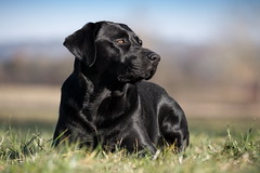 february girl (uwe.kast) Tags: labrador labradorretriever labradorredriver hund haustier dog bichou bokeh black gras panasonic lumix g9 100300