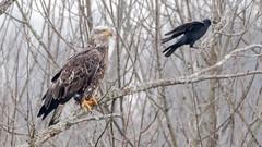 American Bald Eagle (Kevin E Fox) Tags: baldeagle eagle raptor peacevalley newbritain pennsylvania bird birding birdwatching birds birdofprey sigma150600sport sigma nature nikond500 nikon