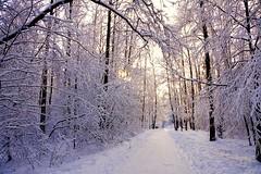 White world (prokhorov.victor) Tags: зима природа пейзаж деревья лес снег утро