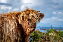 Highland cattle (bransch.photography) Tags: grass highlandcattle agriculture face scotland mammal rural red oban outdoor brown portrait nose animal hebrides countryside highland head fur beautiful nature kerrera horns island hairy farm horn scottish cow field cattle