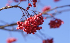 Eberesche Pink Pearl / rowan (sorbus glabrescens) (HEN-Magonza) Tags: botanischergartenmainz mainzbotanicalgardens rheinlandpfalz rhinelandpalatinate deutschland germany ebereschepinkpearl rowanpinkpearl sorbusglabrescenspinkpearl