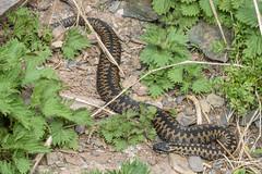 Adder - Viper berus 2 (Matchman Devon) Tags: adder viper berus south hams devon tobys path