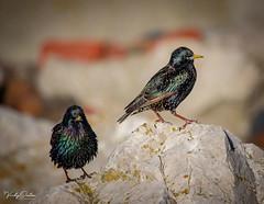 🇬🇧 Starlings (vickyouten) Tags: starling starlings nature naturephotography wildlife britishwildlife wildlifephotography nikon nikond7200 nikonphotography nikkor55300mm crosbybeach crosby liverpool uk vickyouten