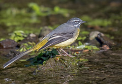 DSC8452  Grey Wagtail... (Jeff Lack Wildlife&Nature) Tags: greywagtail wagtail wagtails birds avian animal animals wildlife wildbirds wetlands waterbirds waterways wildlifephotography jefflackphotography reservoirs riverbirds streams rivers riverbanks countryside nature