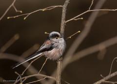 kleine Schwanzmeise (wernerlohmanns) Tags: sigma150600c schärfentiefe sperlingsvögel singvögel vögel meisen schwanzmeise nikond750 nabu wildlife outdoor d750