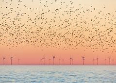 Brighton Starlings and Rampion Wind Farm (lomokev) Tags: starling starlings murmuration nature birds canoneos5d canon eos 5d brighton file:name=1902255dmrk3b3992 orange windfarm rampionwindfarm rampion ocean sea sunset