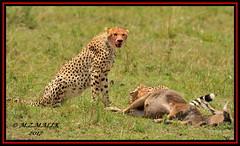 FEMALE CHEETAH WITH HER CUB (Acinonyx jubatus).....MASAI MARA....SEPT 2017. (M Z Malik) Tags: nikon d3x 200400mm14afs kenya africa safari wildlife masaimara keekoroklodge exoticafricanwildlife exoticafricancats flickrbigcats cheetah cheetahfamily acinonyxjubatus ngc npc
