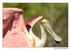 Unhappy Spoonbill (wesjr50) Tags: wadingbirds naturewildlife naturallightphotography roseatespoonbill staugustinealligatorfarm staugustineflorida rookery nik topaz photoshopcc photo emotion canon eos 7d mark ii ef500mm f4l is usm 14x