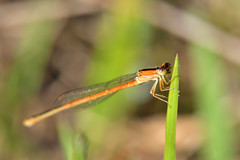 DSC_1429_00001 (redfish1957) Tags: damselfly odonata outdoors outdoorphoto macro closeup nikond7500 nikon85mmmicro