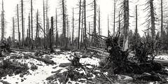WaldFriedhof (Panasonikon) Tags: panasonikon sonya6000 canon1018 bw sw harz winter schnee snow wald forest baumsterben landschaft landscape panorama