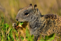 GroundSquirrel_01 (DonBantumPhotography.com) Tags: wildlife nature animals birds donbantumcom donbantumphotographycom squirrel groundsquirrel