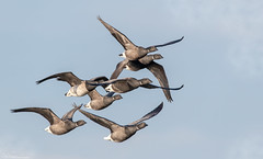 Brent Geese (Steve (Hooky) Waddingham) Tags: animal coast bird british nature wild wildlife wildfowl flight frampton