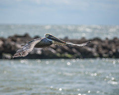 RNP_2687 (Ronnie Newman Photography) Tags: florida nature naturephoto naturephotography bird birds flying fly water waters waterscape brownpelican pelican landscape photography photos photo photographer nikon nikond750 nikonphotography